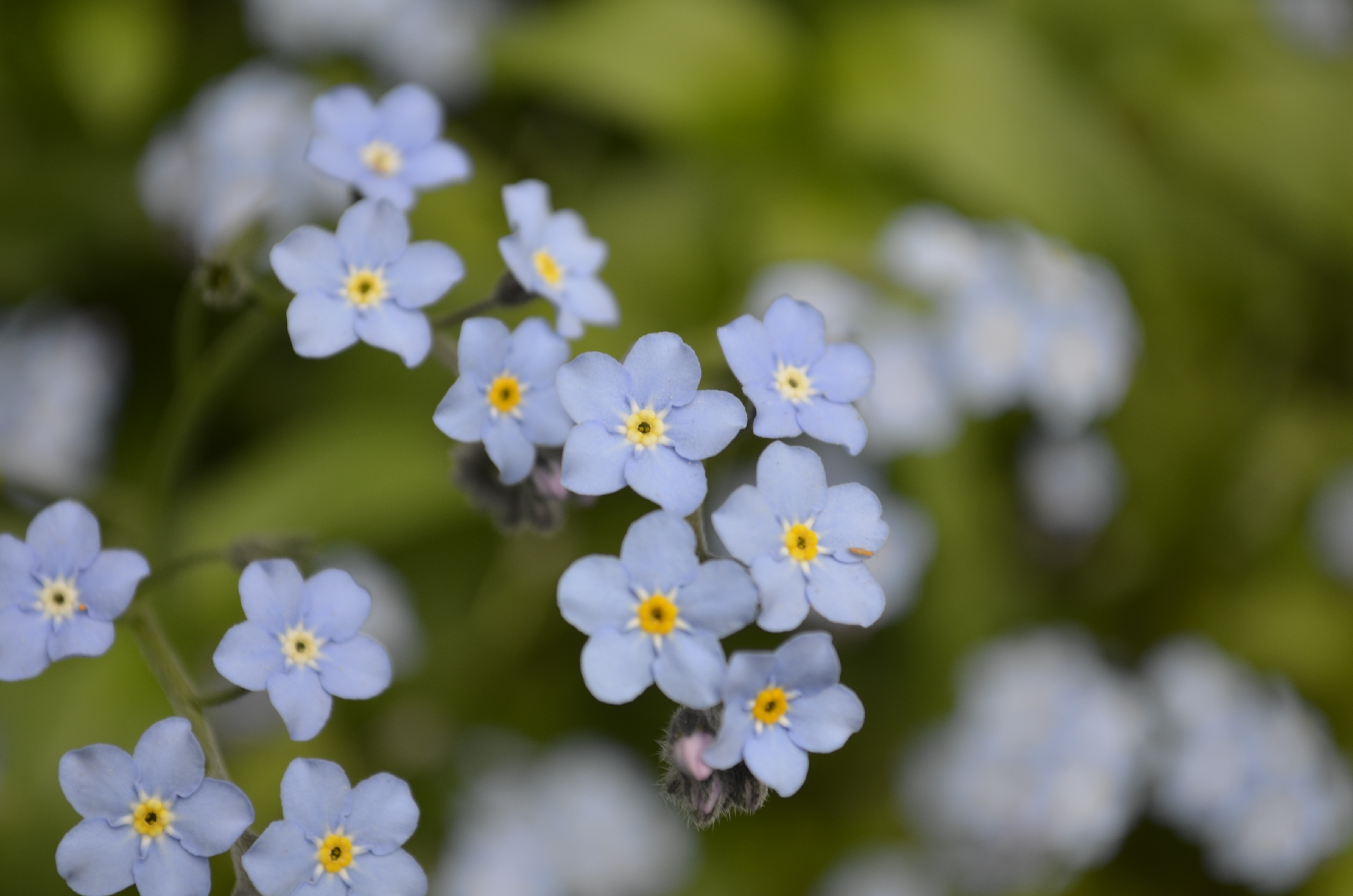 Tiny Blue Flowers…