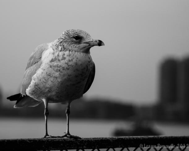 NYC Seagull BW