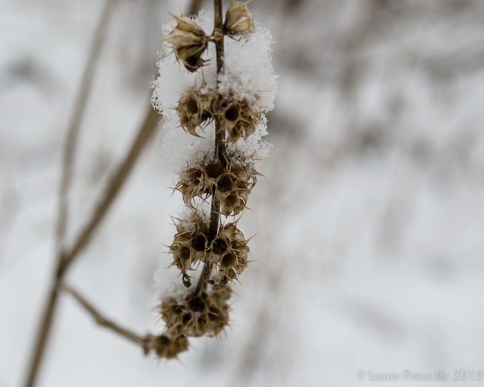 Snow Seed Pods