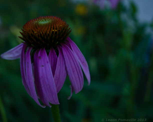 July Cone Flower