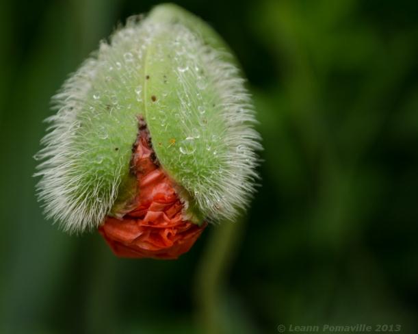 poppybud